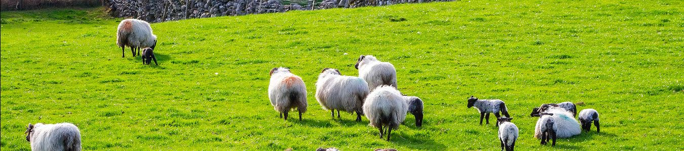 flock of sheep, zoonotic section backround image